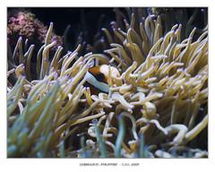 coral reef(1.0), animal(1.0), coral(1.0), coral reef fish(1.0), organism(1.0), marine biology(1.0), invertebrate(1.0), stony coral(1.0), fauna(1.0), cnidaria(1.0), underwater(1.0), reef(1.0), pomacentridae(1.0), sea anemone(1.0),