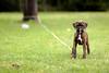 Kevin's new Brindle Boxer pup, Skyy by calanan