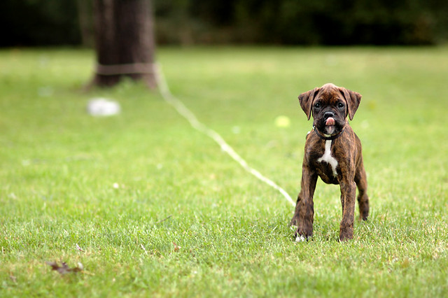 Kevin's new Brindle Boxer pup, Skyy
