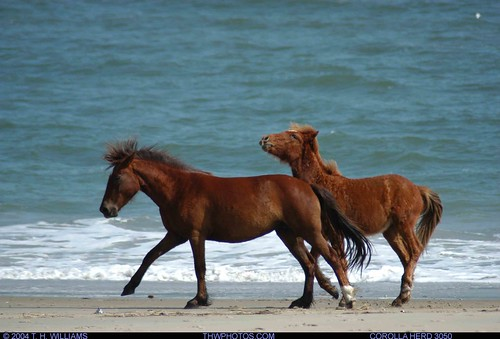 Corolla Herd of Wild Horses at Sandbridge