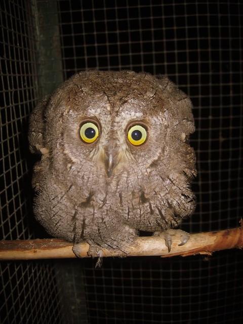 Buho, Owl, Assiolo, Hibou, Uil