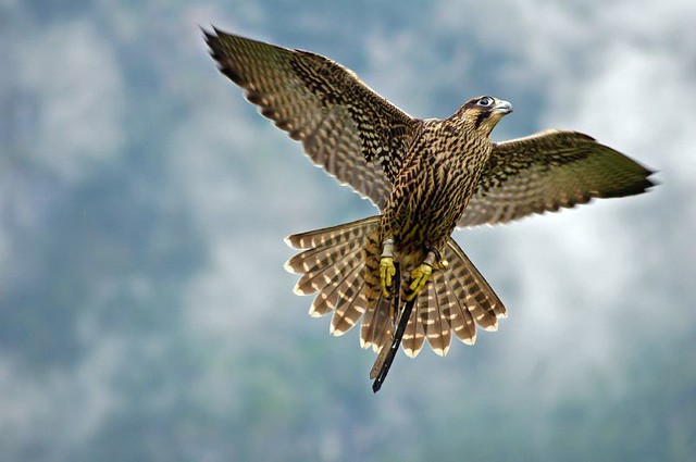 falcon flying i shot several hundred of pictures on a