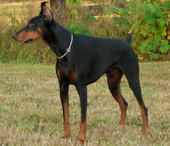 dog breed, animal, dog, german pinscher, manchester terrier, dobermann, pet, guard dog, miniature pinscher, pinscher, toy manchester terrier, english toy terrier, carnivoran, terrier,