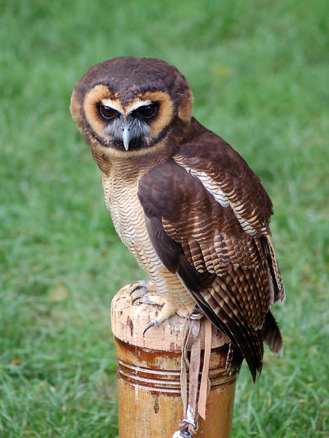 Asian Wood Owl 8