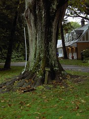 Northern red oak with root problems