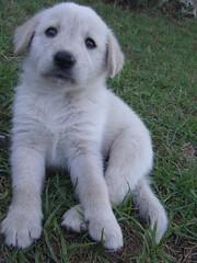 dog breed, animal, polish tatra sheepdog, dog, maremma sheepdog, livestock guardian dog, carnivoran,