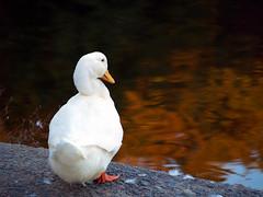 Lakewood Ducks and Big Dam Bridge