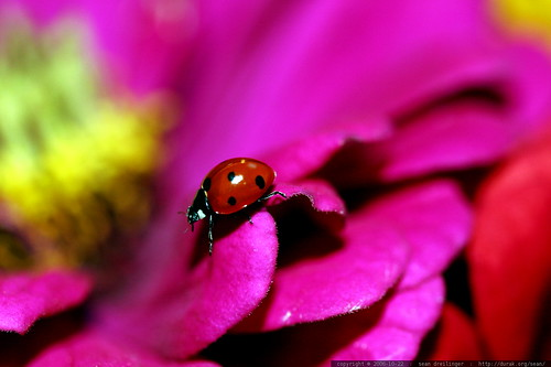 ladybug descending a zinnia petal    MG 2834