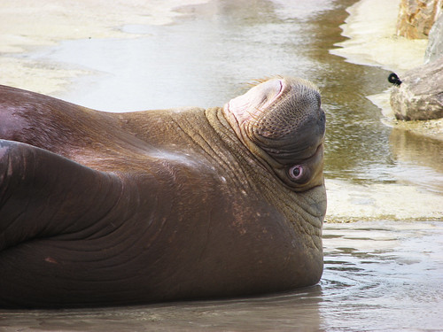 walrus playing dead