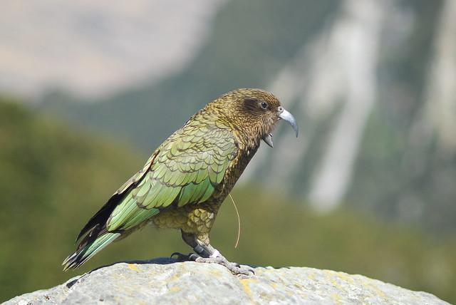 Kea Parrot Pet Kea Parrot