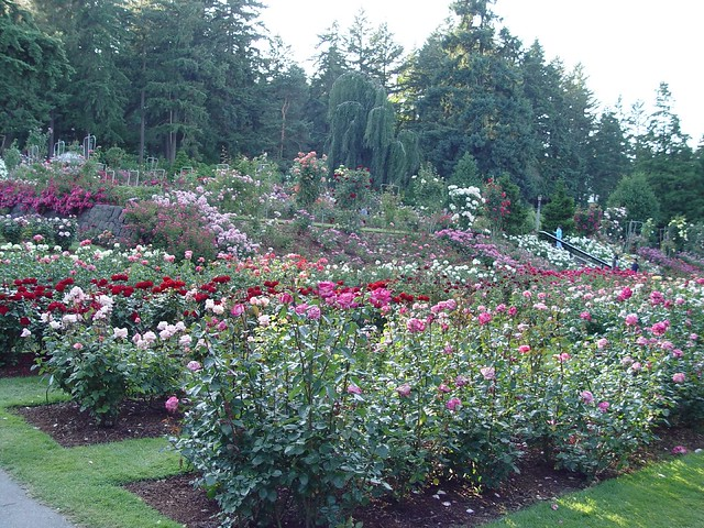 Portland Rose Test Gardens In Washington Park By