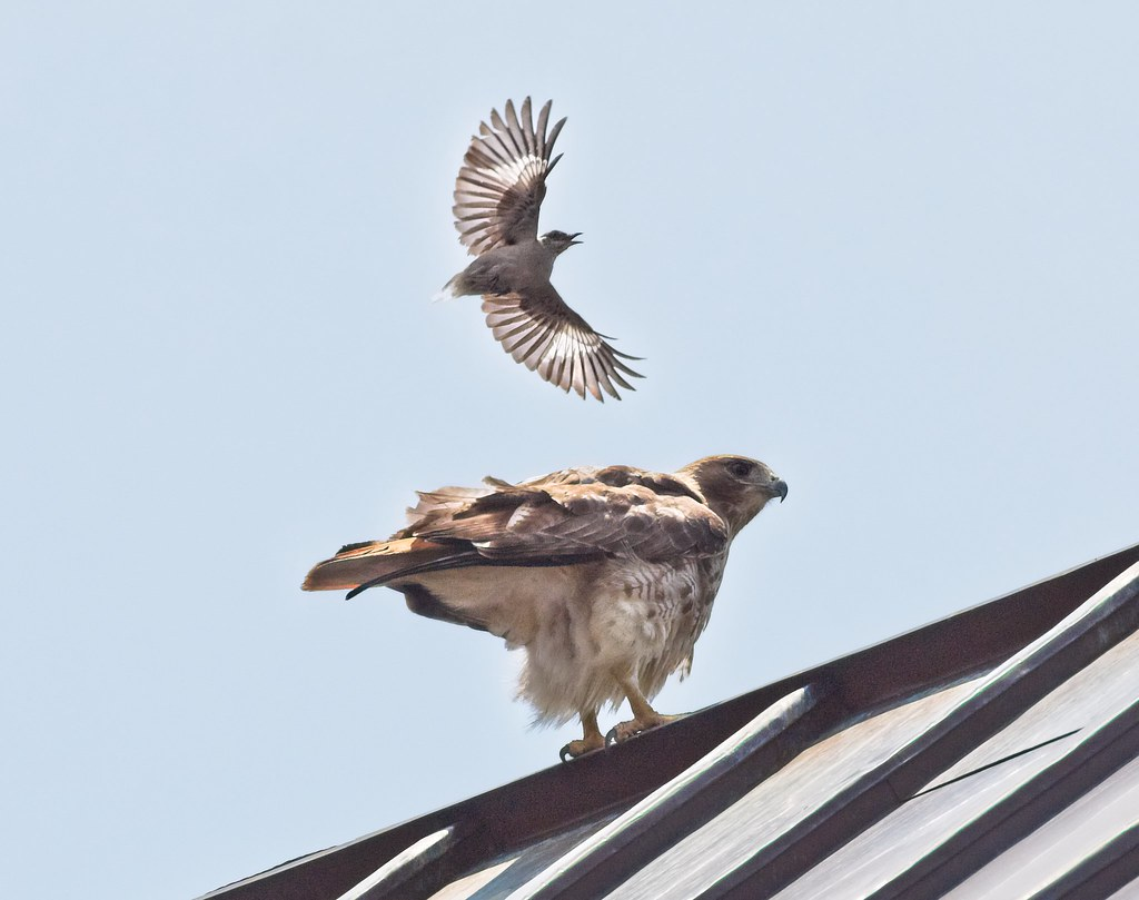 Tailless mockingbird mobs Amelia