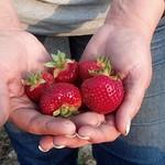 Tue, 05/20/2014 - 7:47pm - strawberries2 (3)