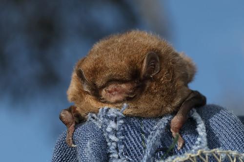 Chocolate Wattled Bat