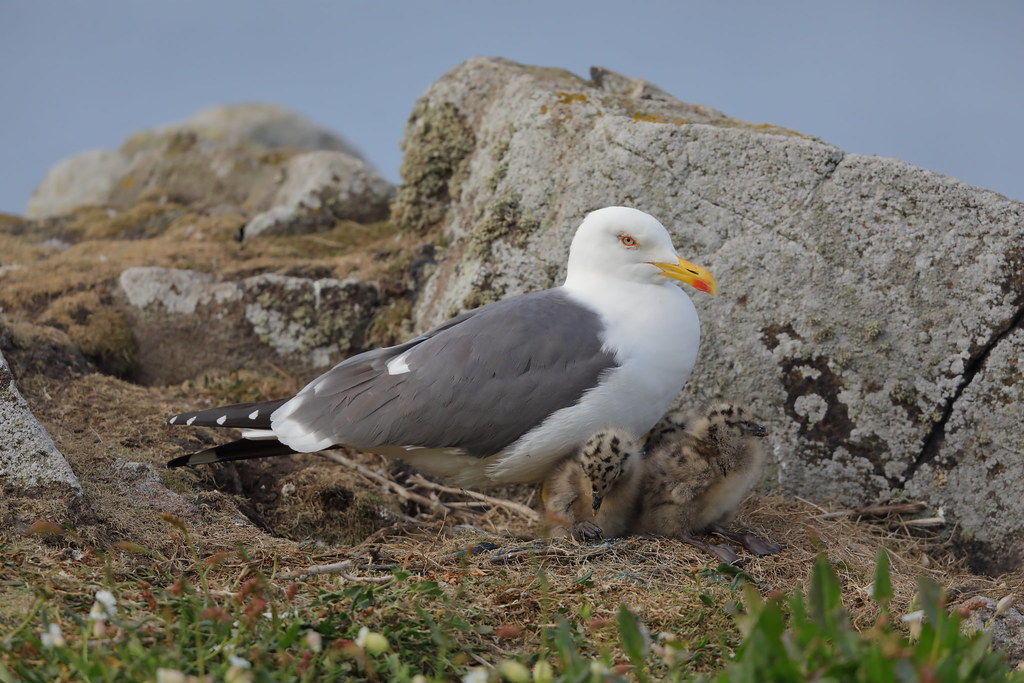 Lesser Black-backed Gull  Larus fuscus