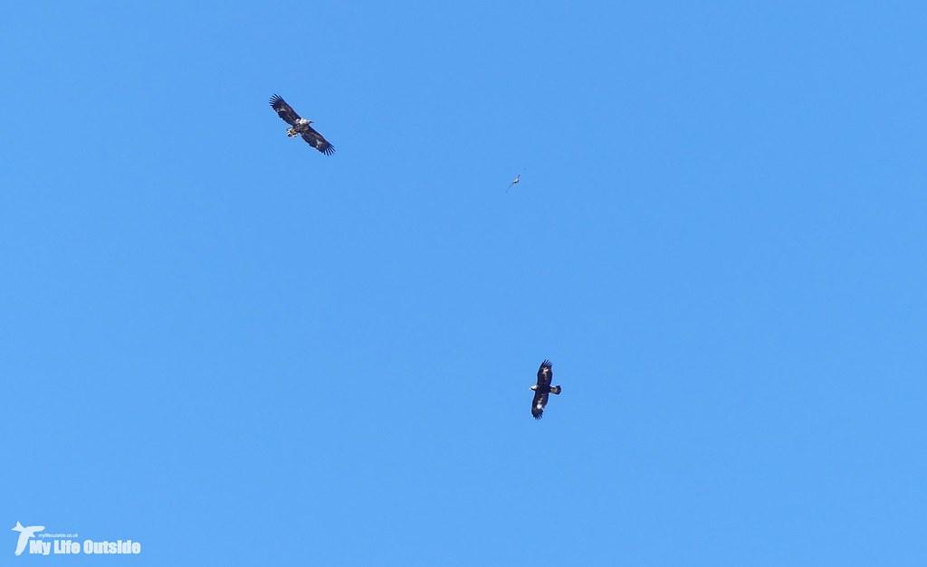 P1140278_2 - Golden Eagle, Sea Eagle and Buzzard, Isle of Mull
