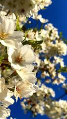 Cherry Blossoms @ Flushing Meadows Corona Park V