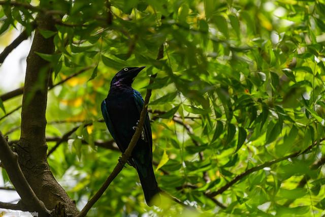 CHU_1643 (Splendid Starling)