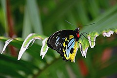 Cairn's Birdwing on drying Palm edge