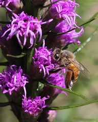 Honey bee on Blazing Star ( Liatris spicata)