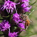 Honey bee on Blazing Star ( Liatris spicata)