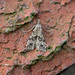 Twenty-plume Moth, Burntisland, Fife, Scotland