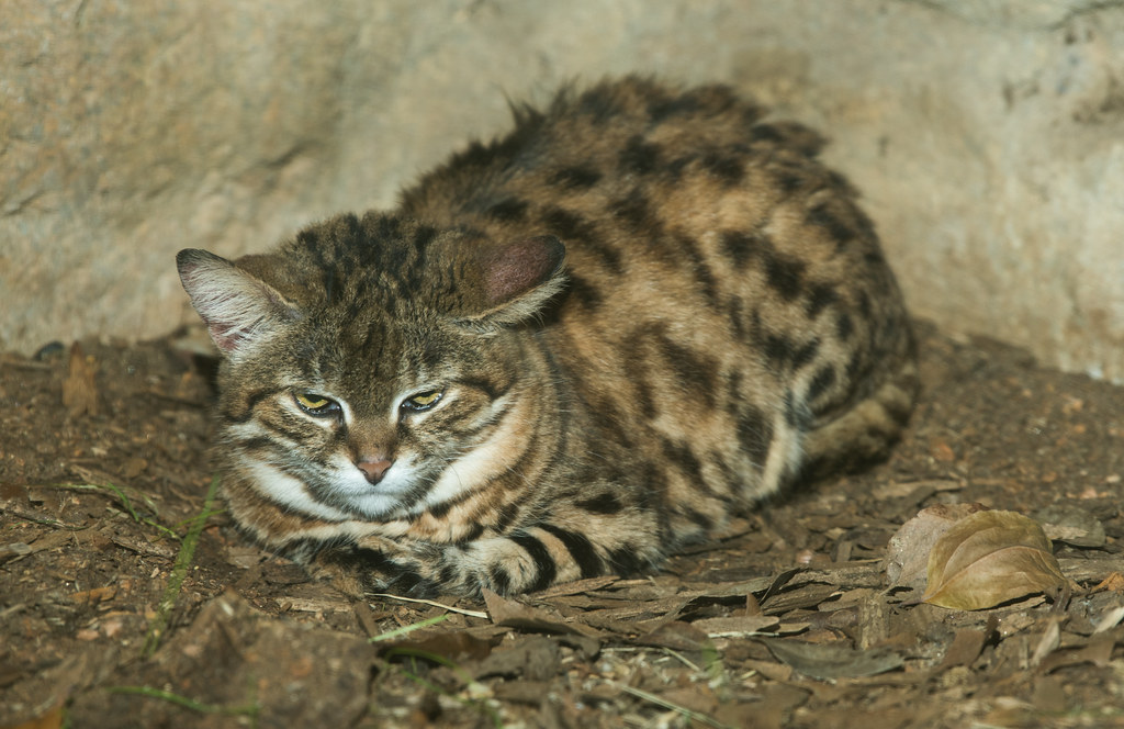 Black Footed Cat_4