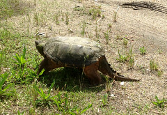 Large Snapping Turtle on Brooke Rd.