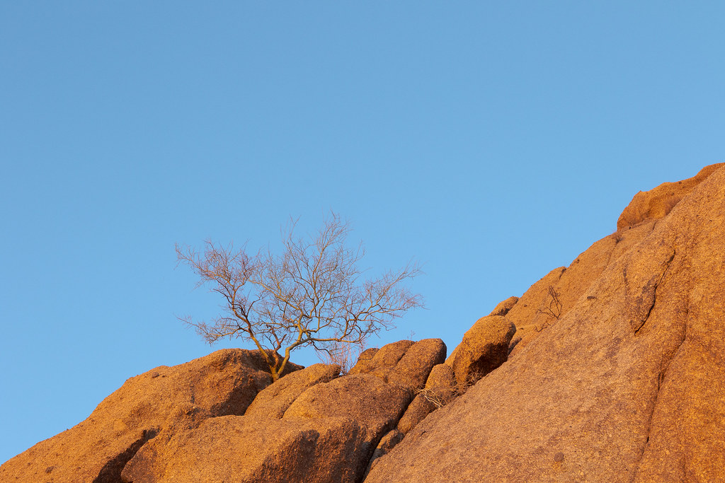 The red light of sunrise illuminates a foothill palo verde tree growing in a large granite slab