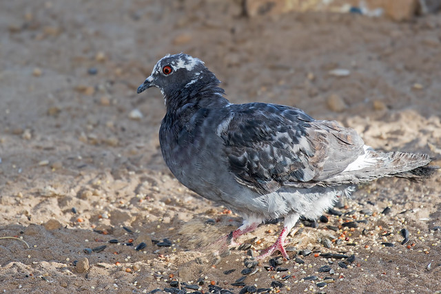 Rock-Dove-(Feral-pigeon)-53-7D2-070118