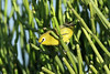 Zosterops senegalensis (Yellow White-eye) - Isunga, Uganda