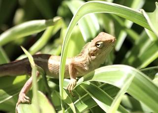 IMG_2904/Mauritius island/Common Gecko yellow /