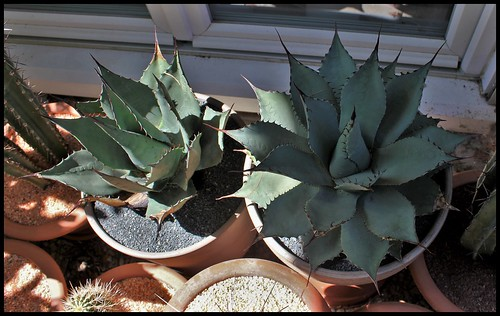 Agave parryi - Page 3 43168399844_fc9afd6db4