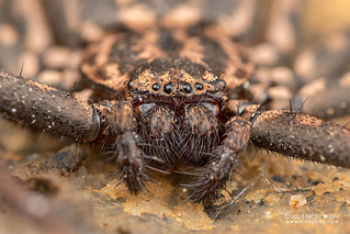 Flatty spider (Hovops sp.) - DSC_7752