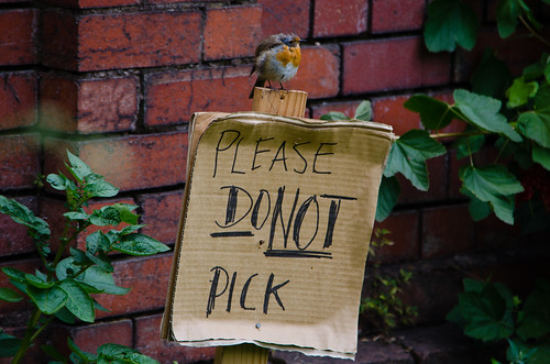 Please do not pick (bedraggled robin)