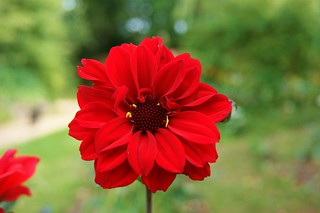 Beautiful red dahlia