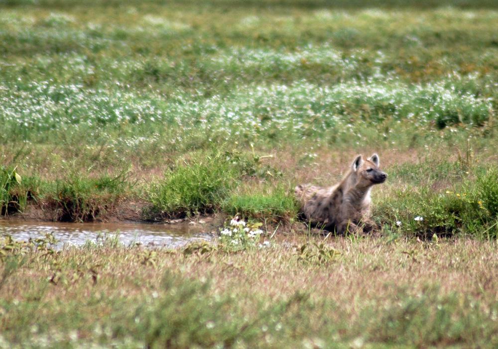 hyena-serengeti