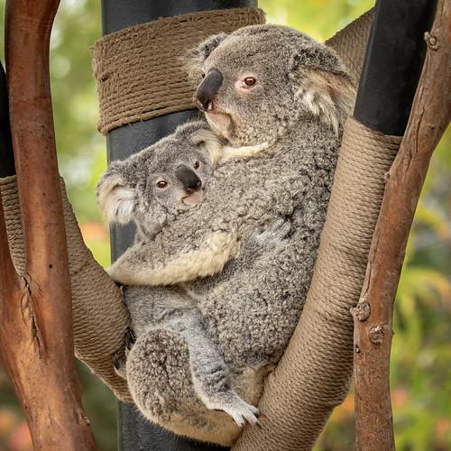 Koala Kiddo