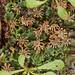 Common Liverwort - Marchantia polymorpha ssp. ruderalis