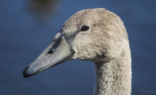 Juvenile Mute Swan Portrait, Canon EOS 750D, Canon EF 70-200mm f/4L