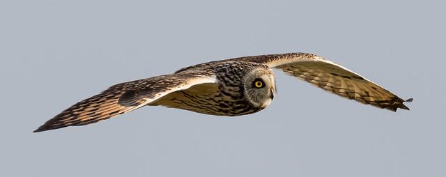 Short Eared Owl, Canon EOS 7D MARK II, Canon EF 500mm f/4L IS
