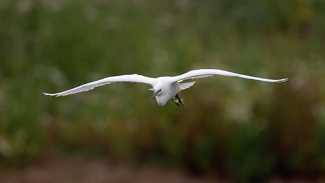 Little egret - Mid July