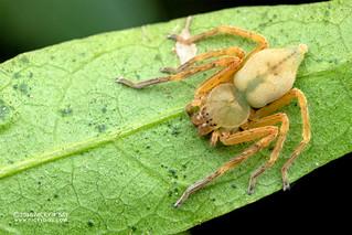 Huntsman spider (cf. Eusparassus sp.) - DSC_6658
