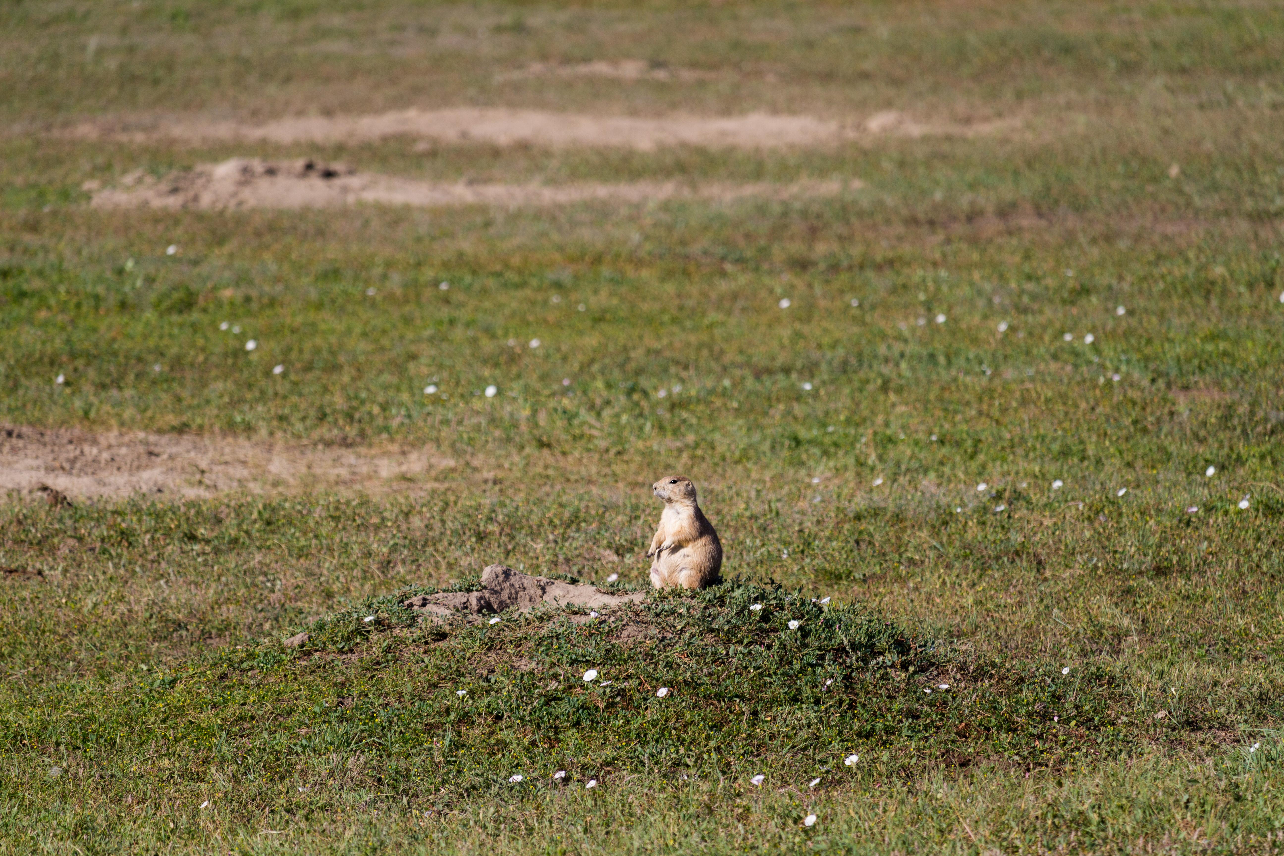 theodore roosevelt prairie dog town