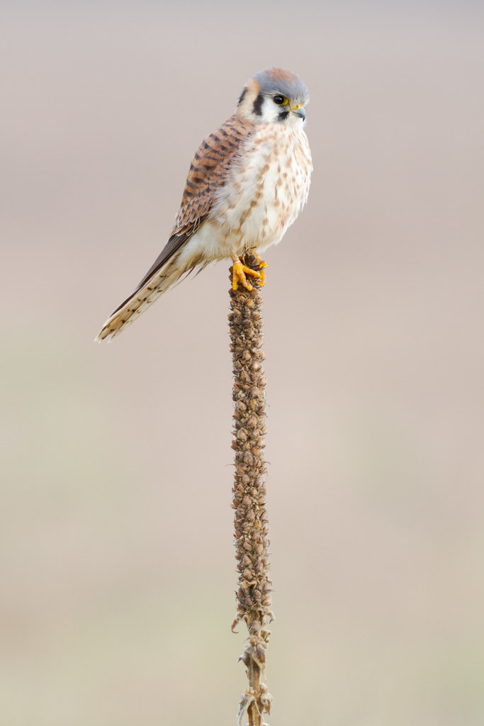 A female American kestrel perched on a plant at Ridgefield National Wildlife Refuge
