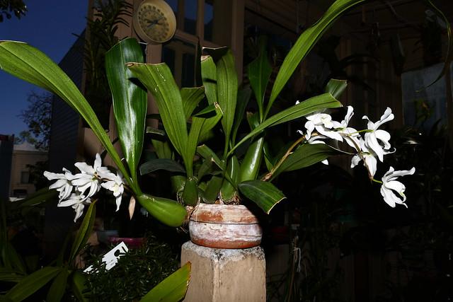 Coelogyne Intermedia primary hybrid orchid, 1st bloom  4-18*