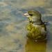 Verderón común (Chloris chloris) / European greenfinch