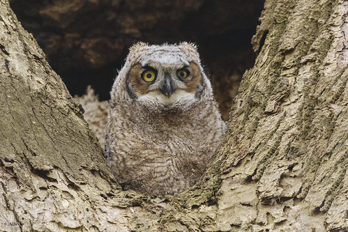 Great Horned Owl / Grand-duc d'Amérique by shimmer5641