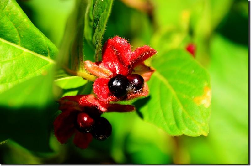 Bracted Honeysuckle(Twinberry honeysuckle) (3)