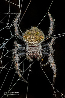 Broad-headed bark spider (Caerostris darwini) - DSC_6642